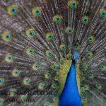 羽をひろげている孔雀