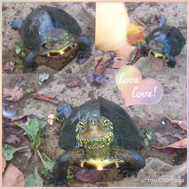 亀が餌を求めている可愛い画像
