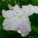 雨のしずくがついている白い花