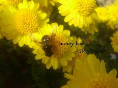 黄色い小菊の蜜を吸っているミツバチ