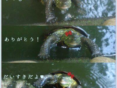 杉並区善福寺の池の亀がエサをちょうだいとおねだりしている写真