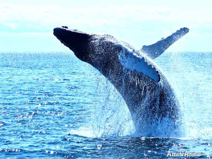 クジラが水しぶきを上げて勢いよくジャンプしている