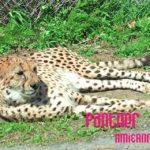 横たわっている豹
