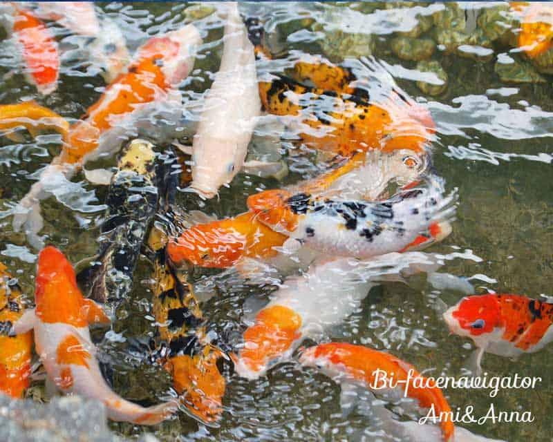 池で泳いでいる沢山の鯉