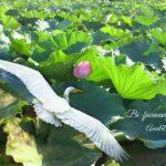 蓮の花めがけて飛んでいる白い鳥