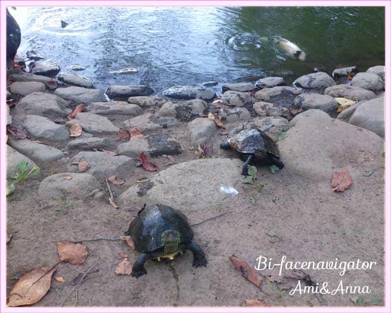 2匹の亀が池から出てきて私めがけて歩いている