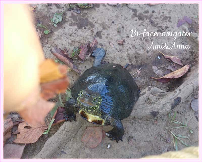 私の足元に居る野生の亀
