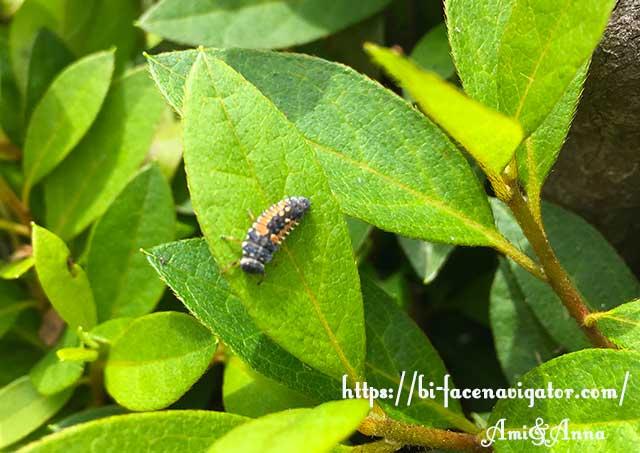 てんとう虫の幼虫