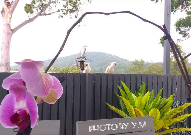 家の庭に遊びに来た2羽のキバタン