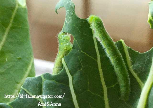 キャベツの苗を仲良く食べている2匹のモンシロチョウの幼虫