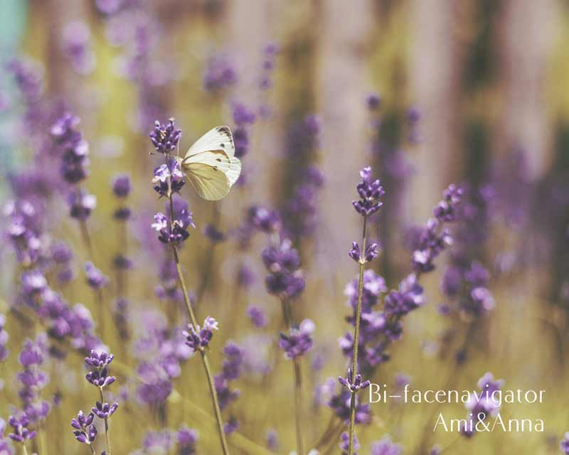 紫の花に止まっている白いモンシロチョウ