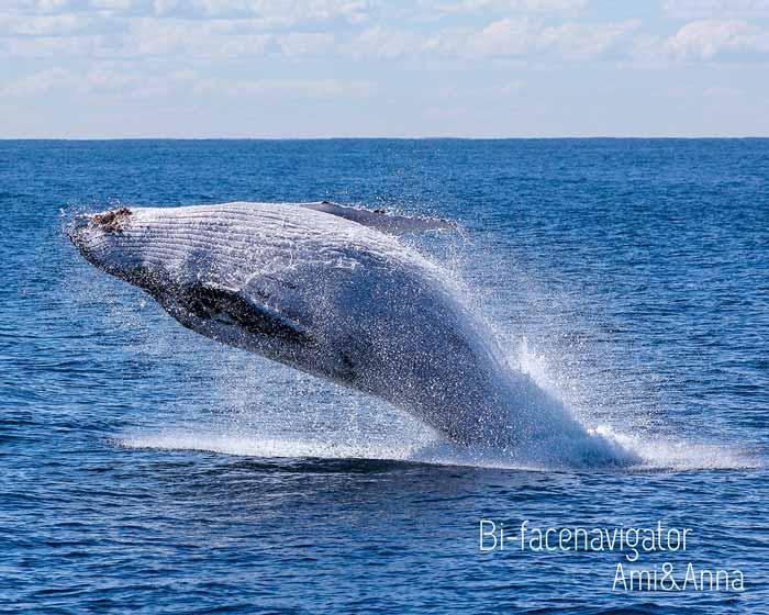 大きなクジラのジャンプ