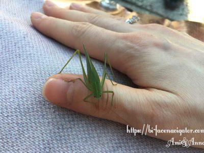 Amiの親指にとまっている緑のバッタ(ツユムシ)