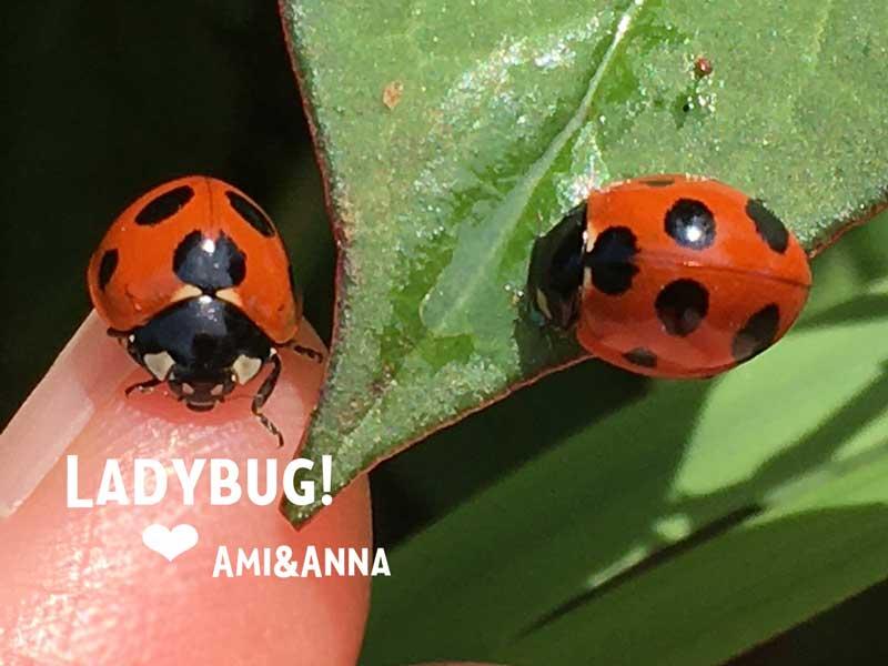 Amiの指に止まっているてんとう虫と葉についた水を飲んでいるナナホシテントウ