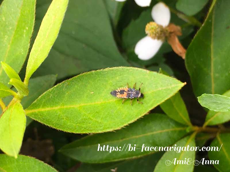 我が家の庭木に住んでいるてんとう虫の幼虫
