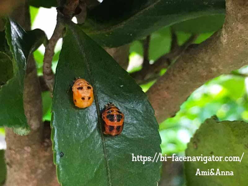 1枚の椿の葉についている2つのナミテントウの蛹