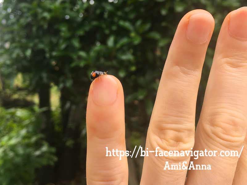 Amiの小指にとまっている二紋型のナミテントウ