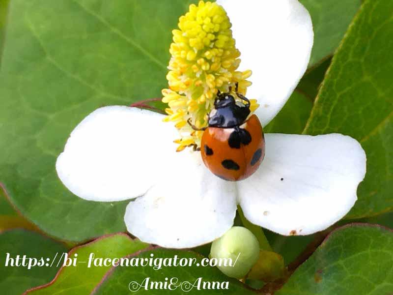 ドクダミの花粉を食べているナナホシテントウ