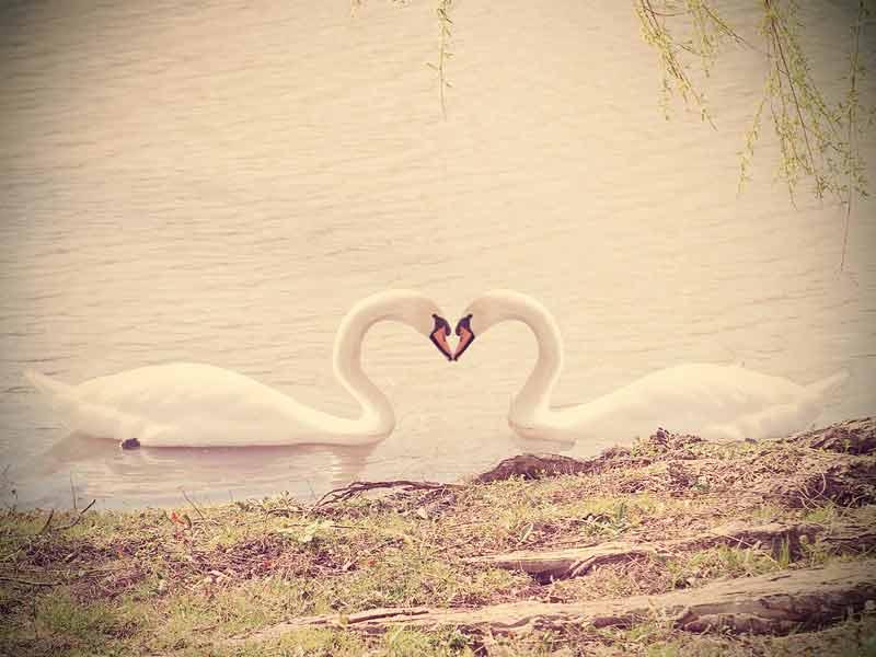 湖にいるつがいの白鳥